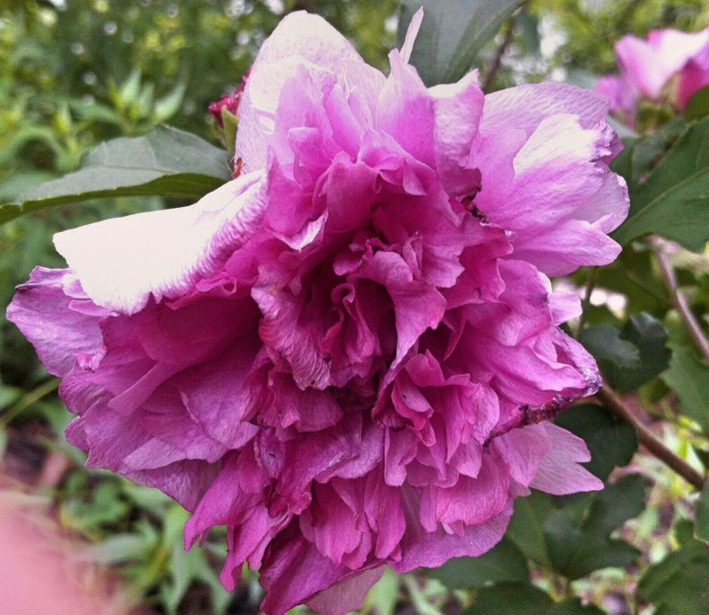 Hibiscus Syriacus Ardens Double Purple Plant Or Seeds Free Etsy