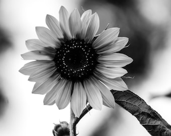 Sunflower in Black & White by Pitts Photography, Fine Art Photography