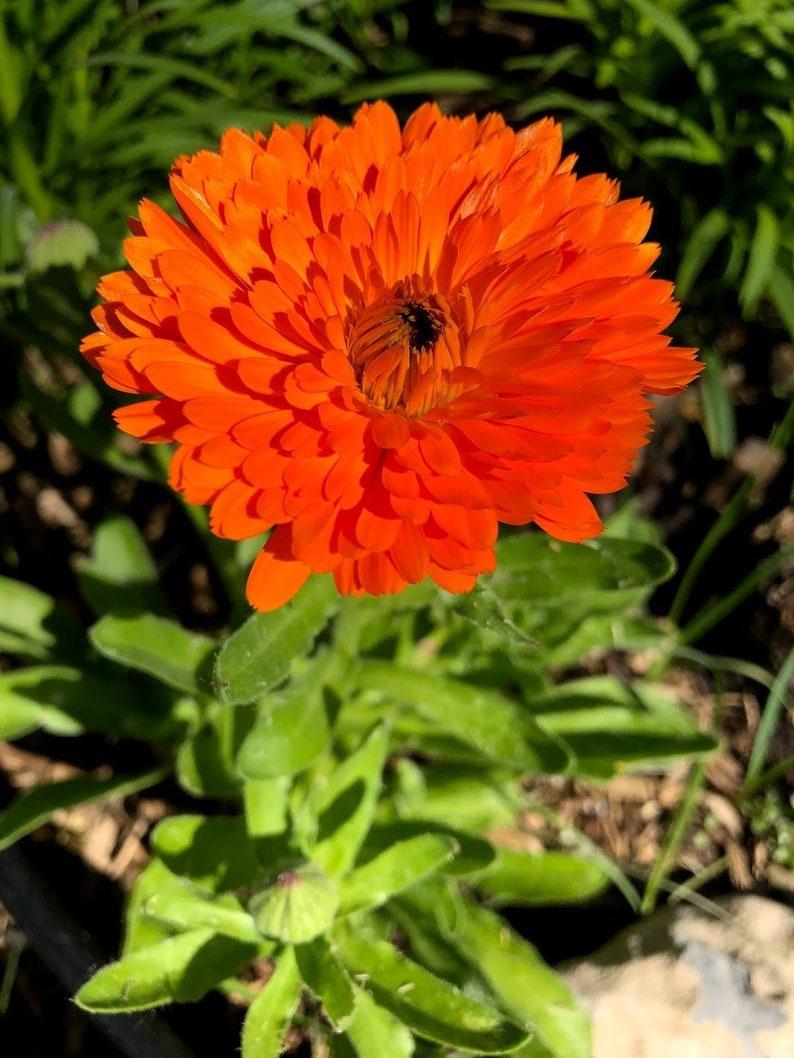 SAVE STRAY CATS: Organic medicinal plant Calendula Calendula image 0