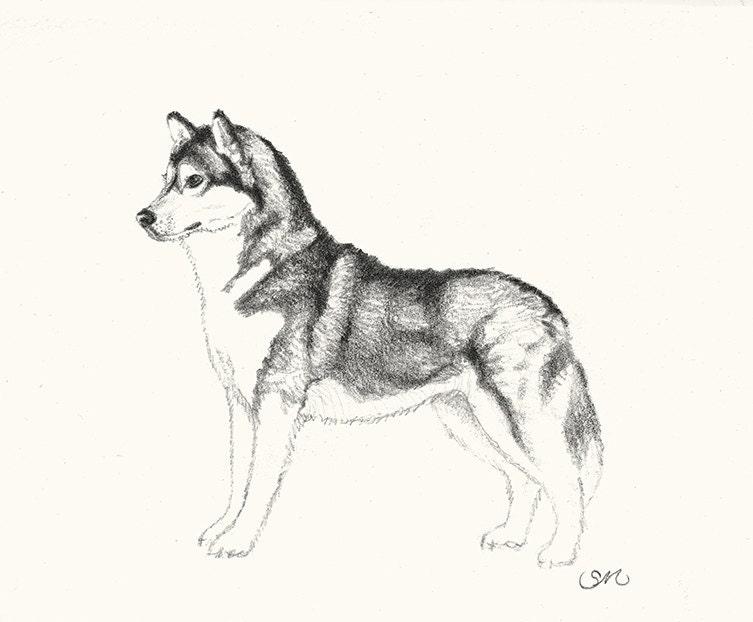 141 siberian husky drawing card