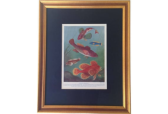 Framed Antique Fish Lithograph