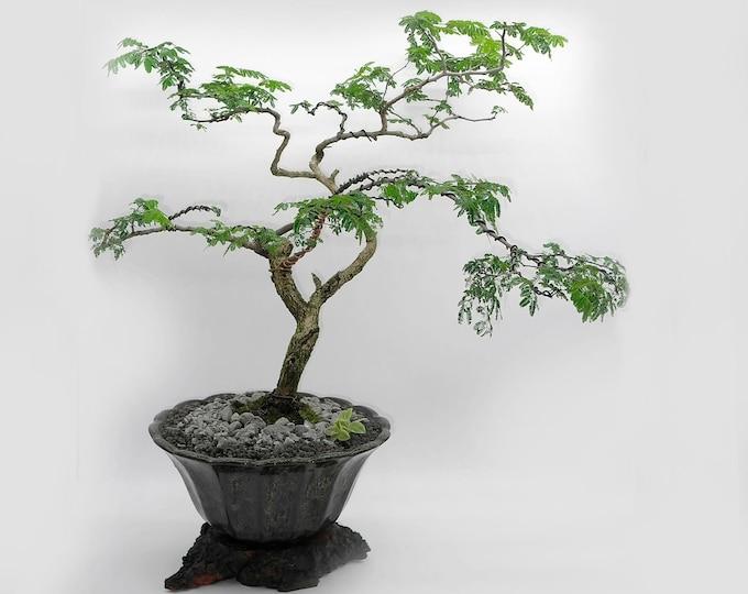 "Divi Divi bonsai tree, ""Elements of decor"" collection from LiveBonsaiTree"