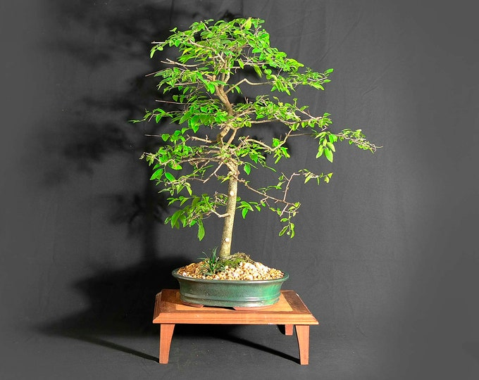 """Hackberry Bonsai Tree, """"One of a kind"""" collection from LiveBonsaiTree"""