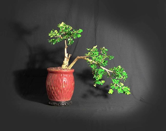 "Japanese Boxwood Bonsai Tree, ""Back to normal"" collection LiveBonsaiTree"