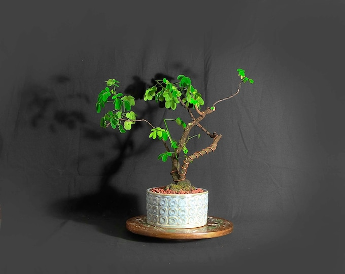 """Senna Bonsai Tree, """"Ultimate Cure"""" Collection from LiveBonsaiTree"""