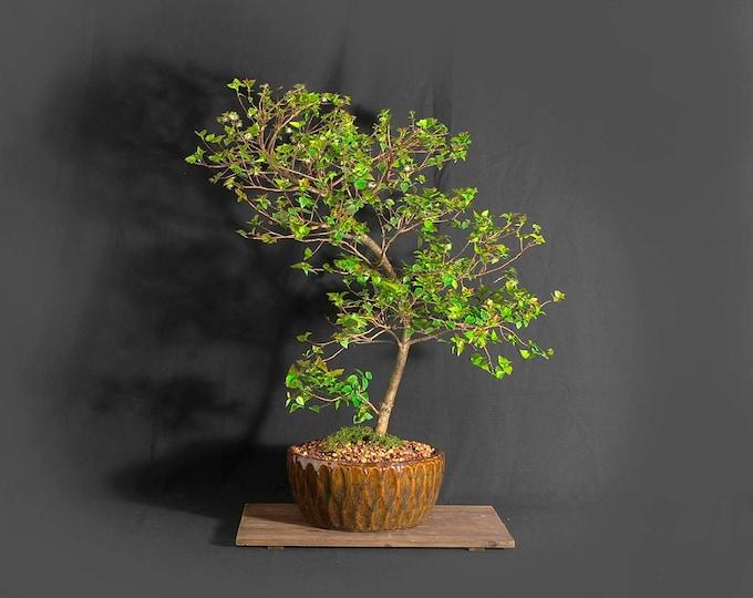 "Dwarf Surinam cherry (rare) bonsai tree, ""Vitamin"" collection from LiveBonsaiTree"
