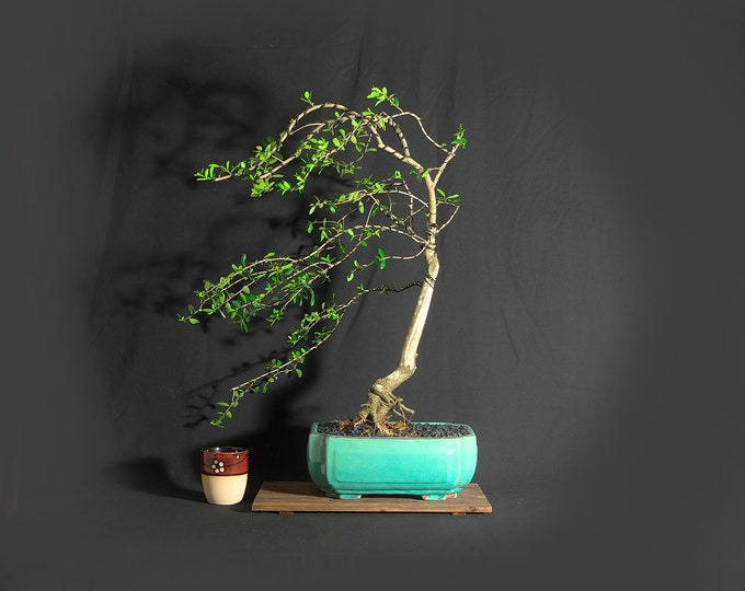 "Dwarf yaupon holly, ""Windswept"" collection from LiveBonsaiTree"