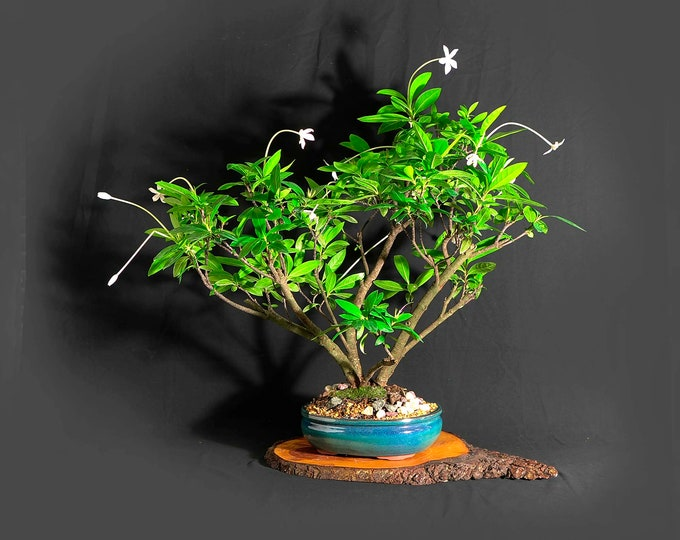 """Madamfate bonsai tree (rare) """"One of a kind"""" collection from LiveBonsaiTree"""