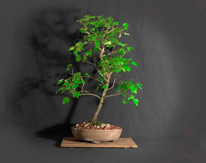 """Red Maple bonsai tree, """"Treat yourself"""" collection from LiveBonsaiTree"""