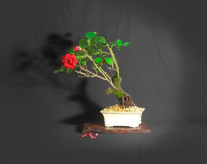"Mature Rose Bonsai Tree, ""Original American Handmade"" collection from LiveBonsaiTree"