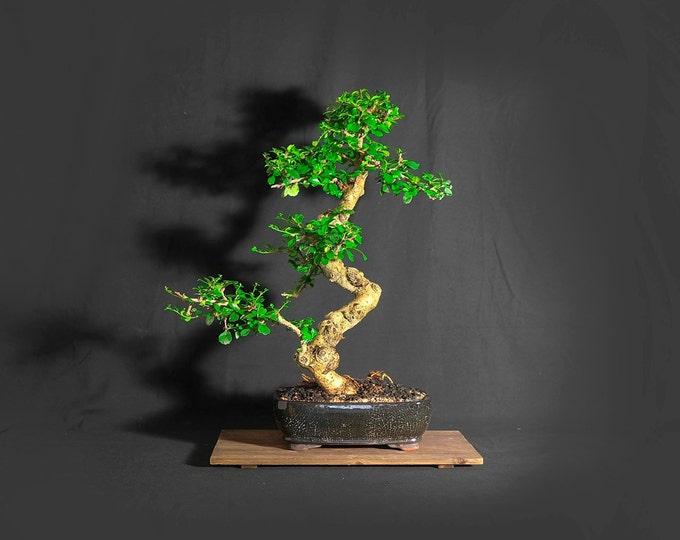 "Mature Fukien Tea bonsai tree, ""Evening tea"" collection from LiveBonsaiTree"