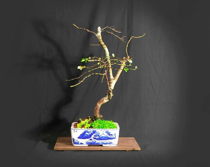 """Star blueberry bonsai tree, """"First bloom"""" collection from LiveBonsaiTree"""