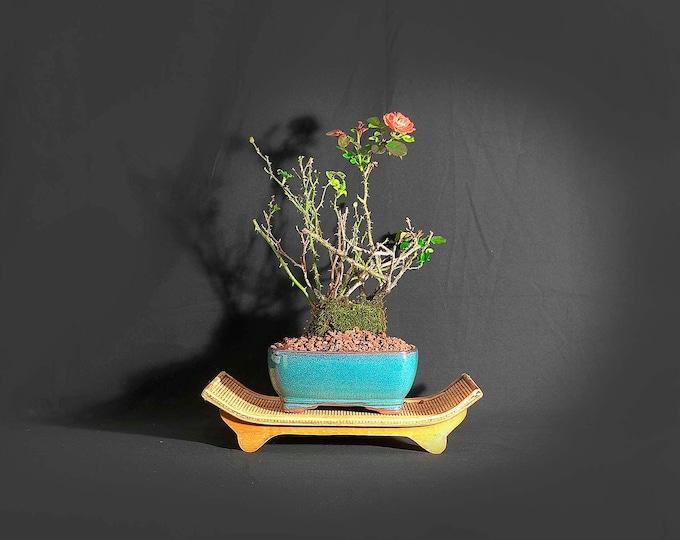 "Dwarf Rose Bonsai Tree, ""Stimulus spent!"" collection from LiveBonsaiTree"