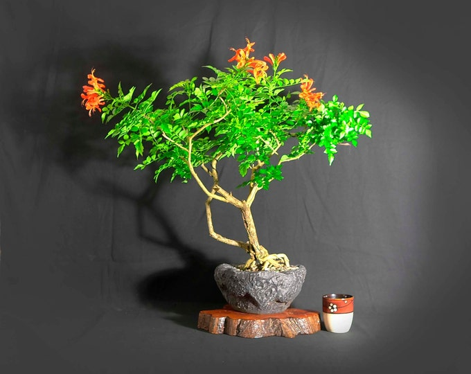 """Cape Honeysuckle Bonsai Tree, """"First Bloom"""" collection from LiveBonsaiTree"""