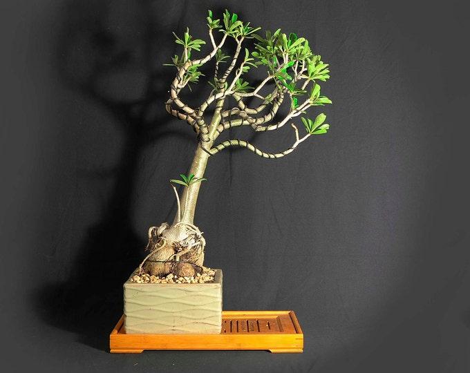 "Desert Rose Bonsai Tree, ""Miss Vaccine"" collection from LiveBonsaiTree"