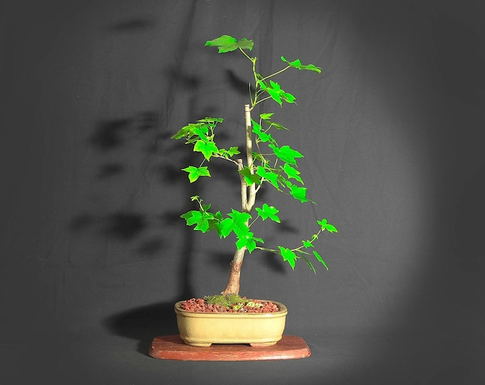 "Sweetgum Bonsai Tree,  ""Light@EndTunnel"" collection from LiveBonsaiTree"