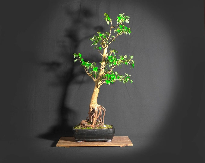 "Trident Maple bonsai tree, ""Peace and Calm"" collection from LiveBonsaiTree"