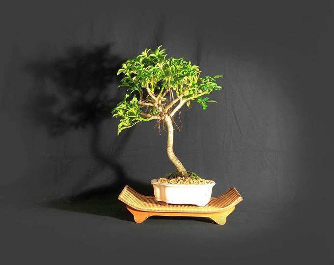 "Schefflera bonsai Tree, ""Anti-depressant"" Collection from LiveBonsaiTree"