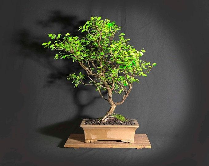 "Cedar elm bonsai tree, ""Elms of the world"" collection from LiveBonsaiTree"