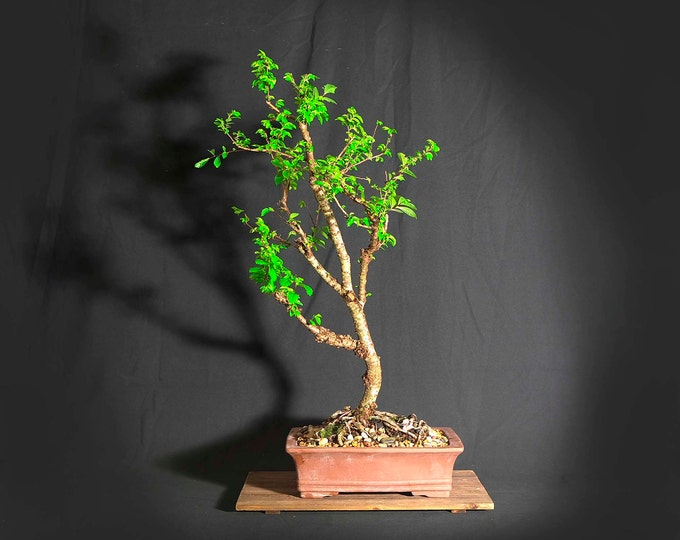 "Lacebark elm bonsai tree, ""Elms of the world"" collection from LiveBonsaiTree"