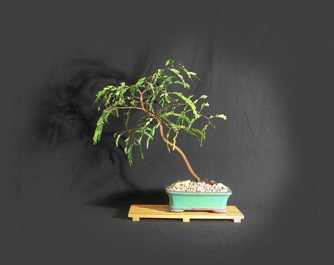 "Tamarind Bonsai Tree, ""Vitamin"" collection from LiveBonsaiTree"