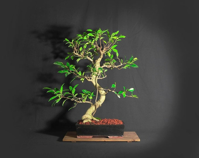 "Tiger bark fig bonsai tree, ""Serenity"" collection from LiveBonsaiTree"