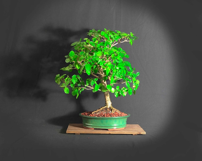 """Premna Bonsai Tree (rare), """"Back to normal"""" collection from LiveBonsaiTree"""""""