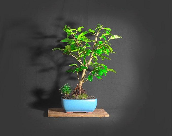 "Ukrainian chestnut  bonsai tree (rare), ""Tree nut"" collection from LiveBonsaiTree"