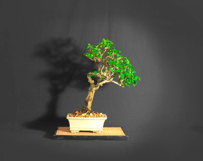 """Fukien Tea bonsai tree, """"Back to normal"""" collection from LiveBonsaiTree"""
