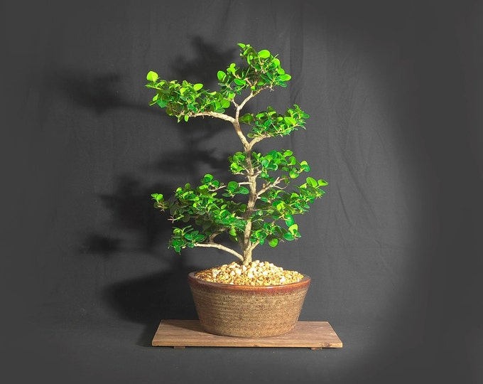 "Natal Plum bonsai, ""Green Pet"" Collection"" from LiveBonsaiTree"