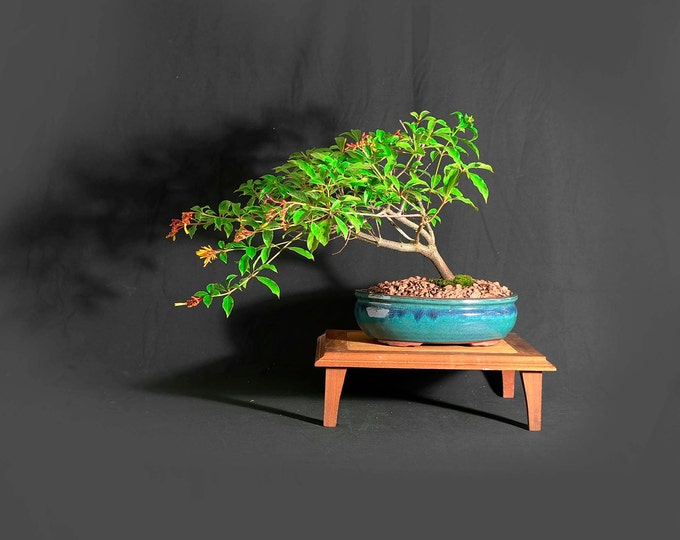 "Firebush bonsai tree, ""One of a kind"" collection from LiveBonsaiTree"