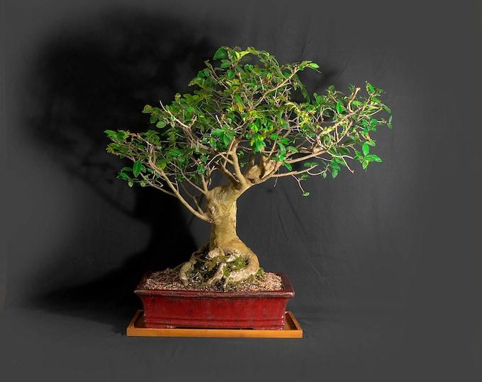 "Drake Elm bonsai tree, ""Maturity"" collection from LiveBonsaiTree"
