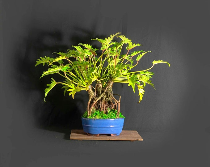 """Dwarf mature Xanadu philodendron bonsai composition, """"Personality reflection"""" collection from LiveBonsaiTree"""