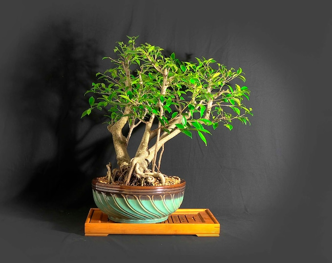 "Mature Tiger bark fig bonsai tree, ""Maturity"" collection from LiveBonsaiTree"