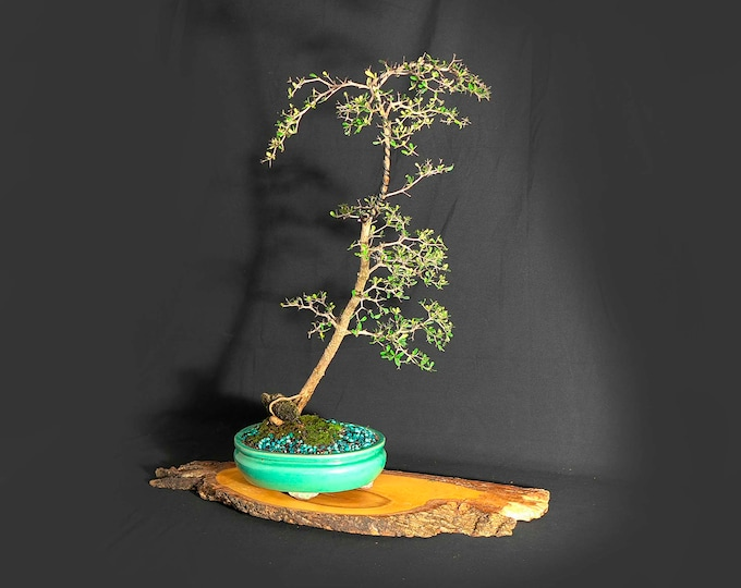 """Black Olive Bonsai tree, """"Miss Vaccine""""  collection by LiveBonsaiTree"""