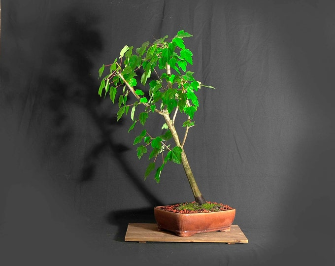 """Red Maple bonsai tree, """"Back to normal"""" collection from LiveBonsaiTree"""