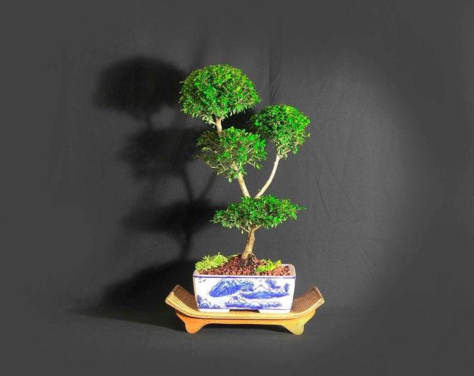 """Neea buxifolia bonsai tree, """"Stimulus spent!"""" Collection from LiveBonsaiTree"""