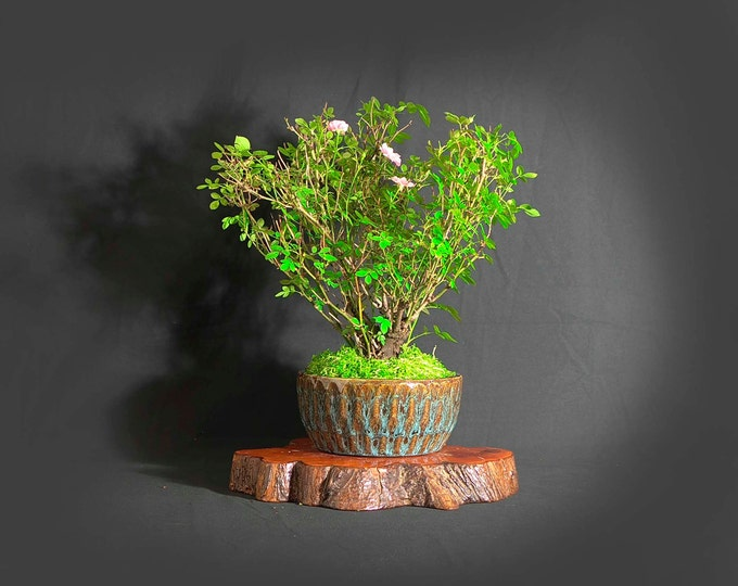 "Dwarf Rose Bonsai Tree, ""Vitamin"" collection from LiveBonsaiTree"