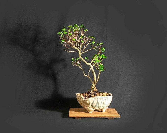 "Rare, dwarf crape myrtle bonsai tree, ""Vitamin"" collection from LiveBonsaiTree"