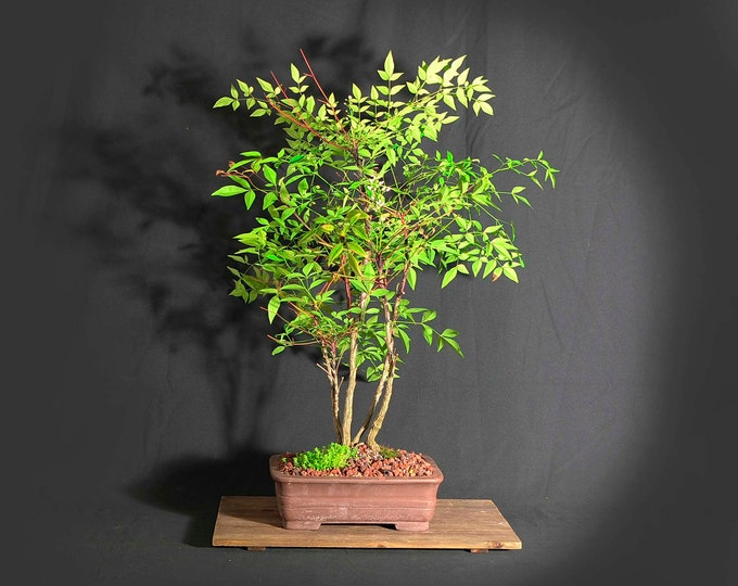"""Heavenly bamboo (Nandina), """"Miss Vaccine"""" collection from LiveBonsaiTree"""