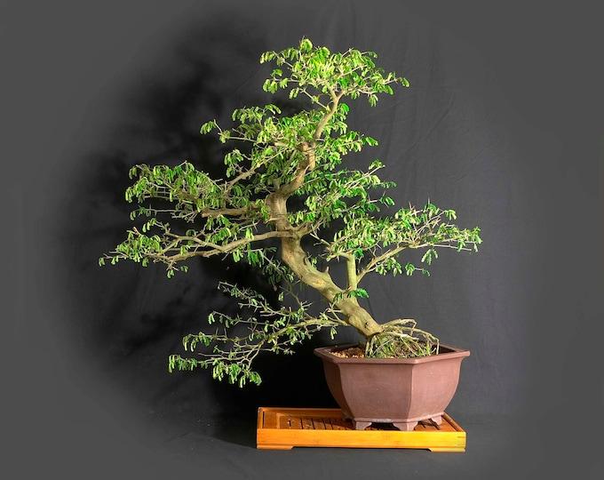 "Mature Brazilian raintree bonsai tree, ""Maturity"" collection from LiveBonsaiTree"