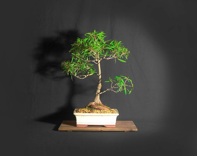 "Willow leaf fig bonsai tree, ""Bring outdoors in"" collection from LiveBonsaiTree"