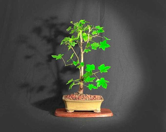 """Sweetgum Bonsai Tree,  """"Miss Vaccine"""" collection from LiveBonsaiTree"""