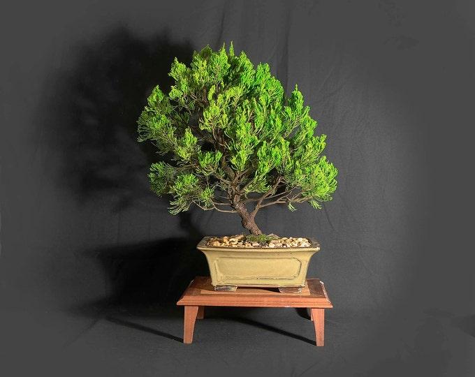 "Juniper Kaizuka bonsai tree, ""Ultimate Cure"" collection from LiveBonsaiTree"