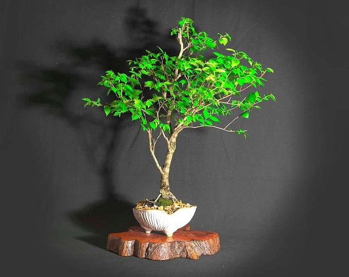 "Siberian elm bonsai tree, ""Elms of the world"" collection from LiveBonsaiTree"