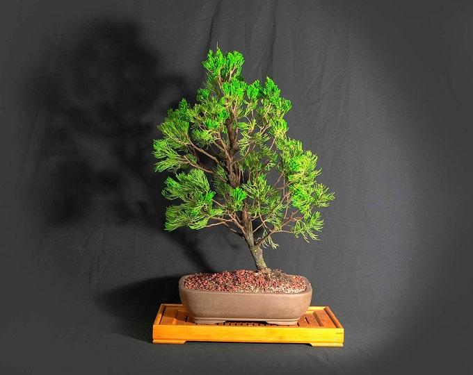 "Juniper Kaizuka bonsai tree, ""Miss Vaccine"" collection from LiveBonsaiTree"