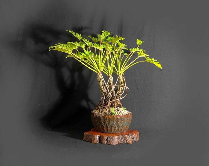 "Dwarf mature Xanadu philodendron bonsai composition, ""Winter tropics"" collection from LiveBonsaiTree"