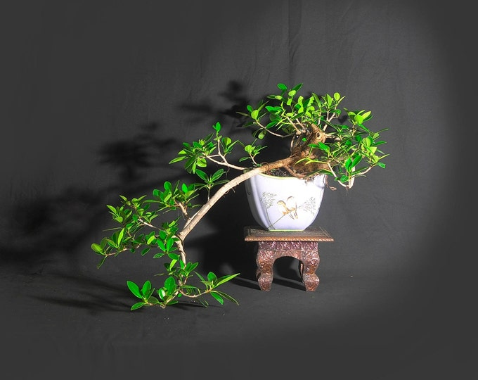 "Green Mound fig bonsai tree, ""My third shot""  collection from LiveBonsaiTree"