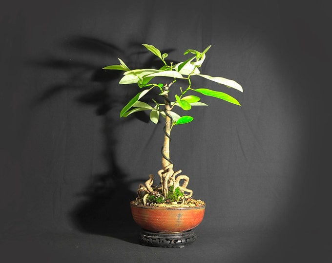 "Bay Magnolia bonsai tree, ""Southern princess"" collection"" from LiveBonsaiTree"