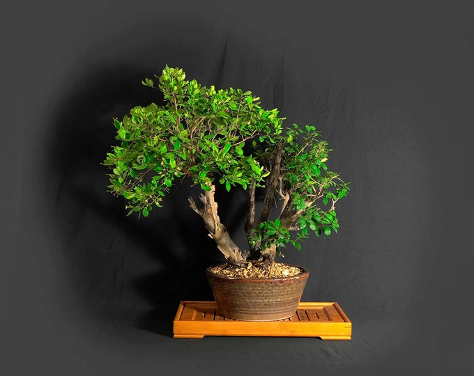 """Mature Simpson Stopper bonsai tree, """"Ultimate Cure"""" collection from LiveBonsaiTree"""